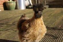 RARE Bearded Silkie Breeding hens and rooster Mount Barker Area Preview