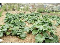 Rhubarb crowns for planting