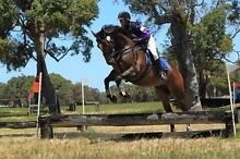 Lovely big strong TB FOR SALE Albany Albany Area Preview