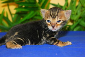 PUREBRED MARBLE BENGAL FEMALE AVAILABLE