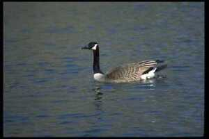 008072-Canada-Goose-Swimming-A4-Photo-Print