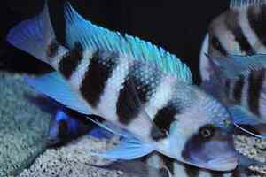 F1 Mpimbwe Blue Frontosa Breeding Group ( 4 )