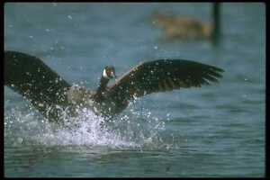289079-Canada-Goose-Landing-On-Water-A4-Photo-Print