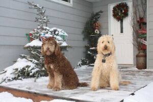 A Goldendoodle | Adopt Dogs & Puppies Locally in Alberta