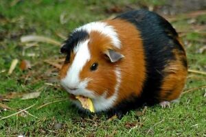 Two handsome Guinea Pigs