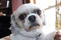 Looking for adult Shihtzu mix