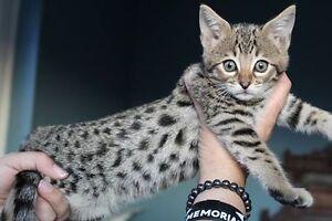 """Argo's Pride F3 Savannah Kitten """"Bill"""" """"Lee"""" & """"Madison"""""""