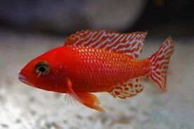 Below is a list of some Haps and peacocks Malawi fish I have for sale due to closing down a tank.