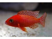 Below is a list of some Haps and peacocks Malawi fish I have for sale.