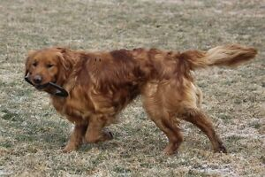 Adult female Golden Retriever wanted
