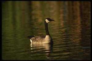 043071-Canada-Goose-A4-Photo-Print