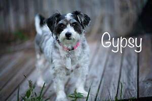 GYPSY, Shih Tzu x, 6 years old, Female Kirwan Townsville Surrounds Preview