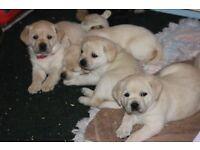 5 Labrador Retriever puppies for sale - £500+