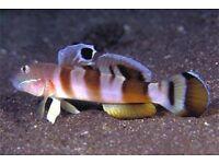MARINE FISH / BLUE CHEEK TIGER BANDED GOBY