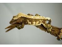 35g Crested Gecko adult male