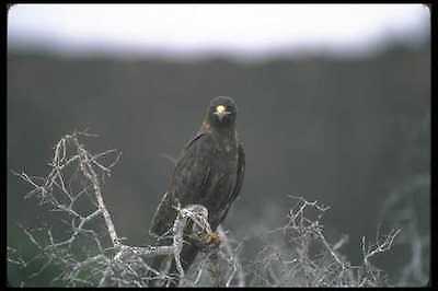 Galapagos Hawk (103074 Galapagos Hawk A4 Photo Print )