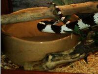 classic desert phase california king snake