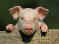 Looking for 2 weaner piglets