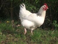 7 Good laying Chickens need new home