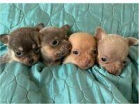 KC Reg Chihuahua Smooth Coat Puppies