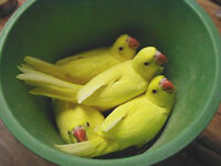 Hand raised superfriendly LUTINO INDIAN RING NECK BABIES(1 LEFT)