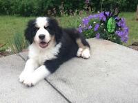 F1b GREAT BERNESE *GENTLE GIANTS* PICS OF AVAILABLE PUPS