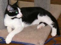 "Young Female Cat - Domestic Short Hair-black and white: ""Summer"""