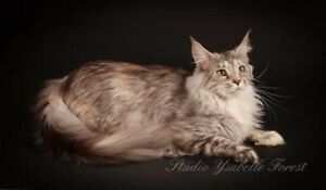 Chatterie Royalwildcoon (Maine coon)
