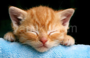 8 weeks ragdoll mix orange kittens