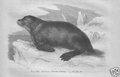 Seebär Seelöwe Seehunde Robben  STICH von 1882