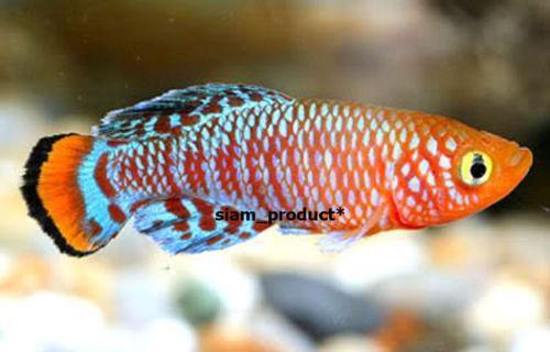 Killifish live fish ebay for Ebay live fish