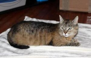 "Adult Female Cat - Tabby (Brown): ""Jewel"""