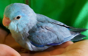 ❤️⭐❤️Parrotlets⭐Available with Cage❤️⭐❤️