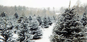 Fresh Cut Christmas Trees, Urn Trees, Wreaths & Garland!! Cambridge Kitchener Area image 1
