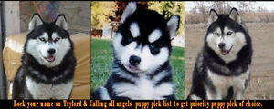 KLEO & TRYLORD REG SIBERIAN HUSKY PUPPIES FOR FAMILY ADOPTION