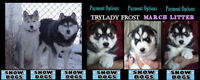 *** Frost REG SIBERIAN HUSKY PUPPIES FOR FAMILY ADOPTION ***