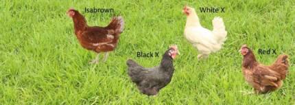 Chickens/ Chooks