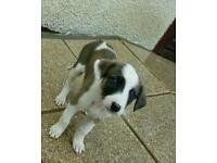 3 month old jack russell terrior
