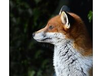 Vermin control fox/pigeon/rabbit/crow/squirrel
