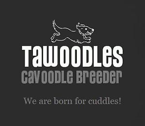 Tawoodles Cavoodle Breeder is now for sale