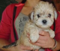YORKIE X WESTIE READY TO GO Delivery available