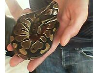 Male python for sale