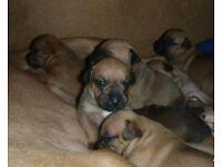staffordshire bullterrier puppies