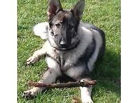 beautiful german shepherd pup for sale 7months