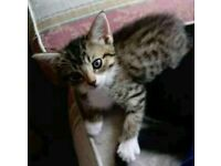 Three tabby kittens male and female
