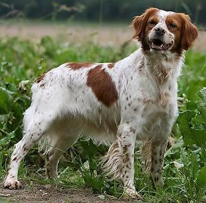 Looking for a Brittany Spaniel