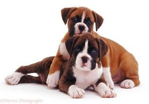 Any boxer puppies for sale in victoria Keilor Downs Brimbank Area Preview