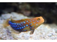 MARINE FISH / THIS IS A HARD TO FIND BLUE SPOT JAWFISH , FEEDING WELL