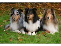 Looking a rough collie female