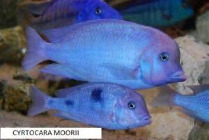 Cyrtocara moorii (Blue Dolphin Cichlid))